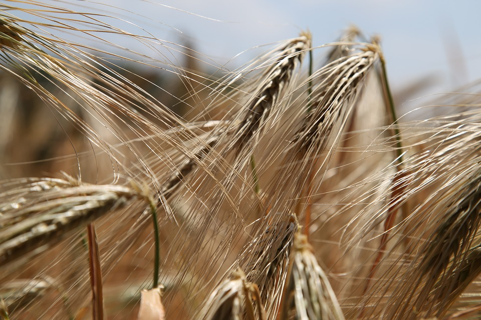 Gluten Sensitivity - Wheat fields